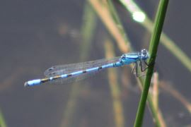 Common Blue Damselfly © Alan Rowland