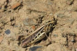 Common Field Grasshopper © Alan Rowland