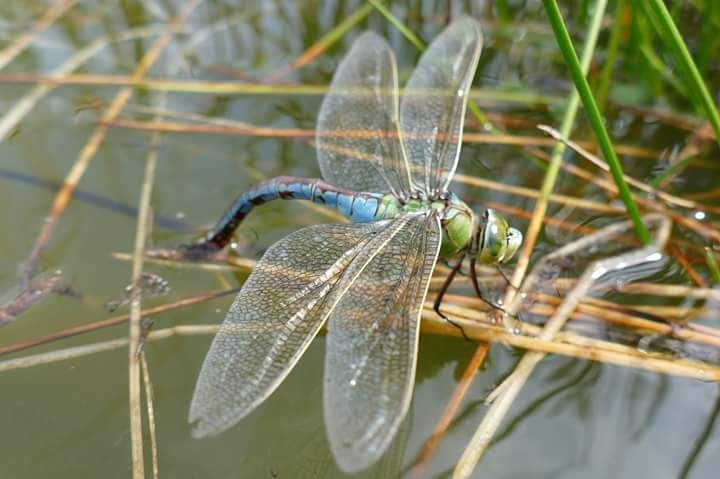 Emperor Dragonfly © M Thorne