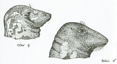 Grey Seal head profiles © Robert Irving