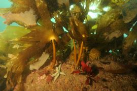 Snorkel into Lundy's shallow kelp forests. Here, north of Rat Island, a high proportion of the plants are golden kelp, a warm water species at their northern limit of distribution at Lundy. © Keith Hiscock