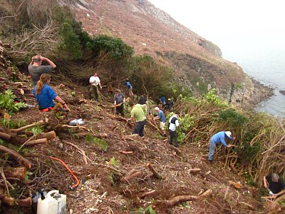 Conservation volunteers clearin Rhododendrons