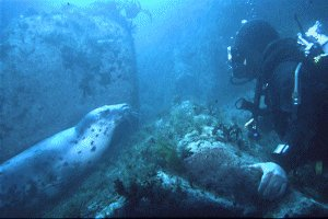 Diver and Grey Seal